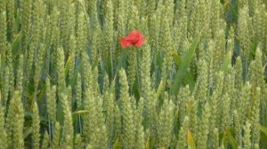 poppy wheat1 NK